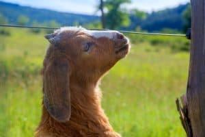 goat horn buds