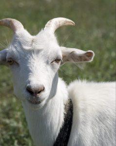 Goat horns help goats