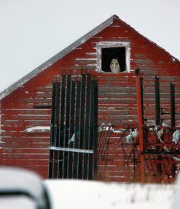 owl perching in barn