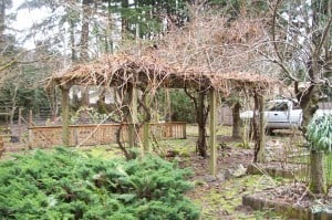 Old Overgrown Grape Arbor