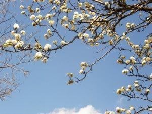 apple blossoms blue sky