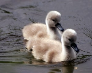 two ducklings swimming