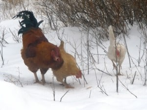 Chickens and Roosters in the snow