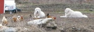 Livestock Guardian Dogs Augie and Callie with chickens