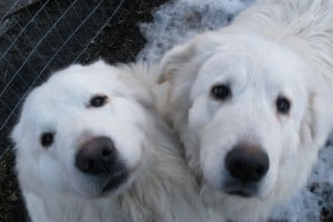 Livestock Guardian Dog Augie and Callie