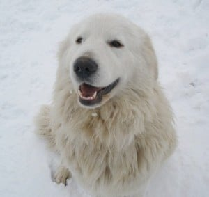 Livestock Guardian Dog Augie smiling