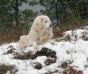 Livestock Guardian Dog Augie watching