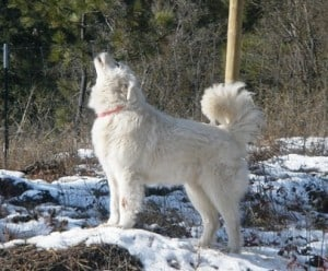 Livestock Guardian Dog Callie howling