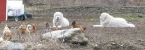 Livestock Guardian Dog Maremmas with chickens