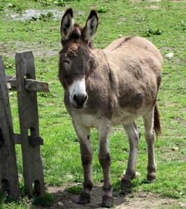 Vigilant Livestock Guardian Donkey