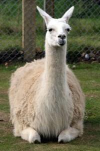 Livestock Guardian Llama