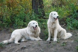 Livestock Guardian Dog Maremma Sheepdogs