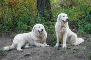 Livestock Guardian Dog Maremma Sheepdogs