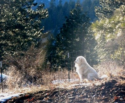 What is a Livestock Guardian Dog? Here's What You Need to Know