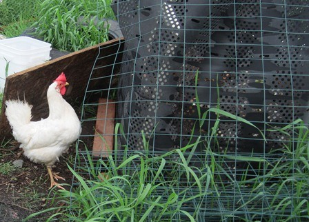 Rooster and Backyard Chickens
