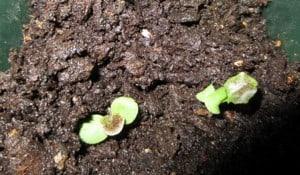 Start seedlings indoors or outdoors