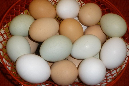 Eggs from Backyard Chickens for Beginners