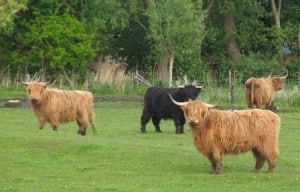 sust highland cattle