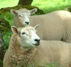 community sheep