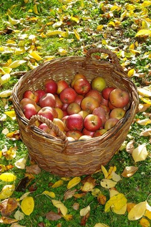 Fresh picked apples on basket