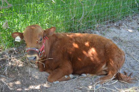 Brown cow Laos