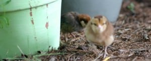How To Raise Backyard Chickens ~ Here's What to Know