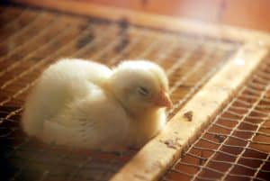 Facts about Raising Chickens in Your Backyard