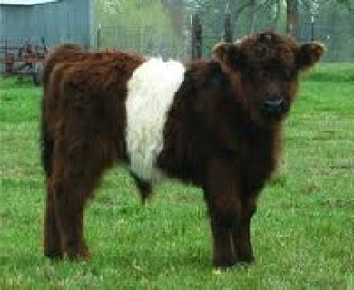 Miniature Cattle Breeds Miniature Belted Galloway