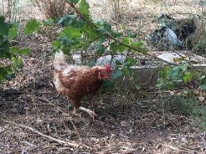 How to Keep Chickens Cool in the Summer Heat ~ Tips for Beginners