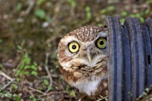attracting owls