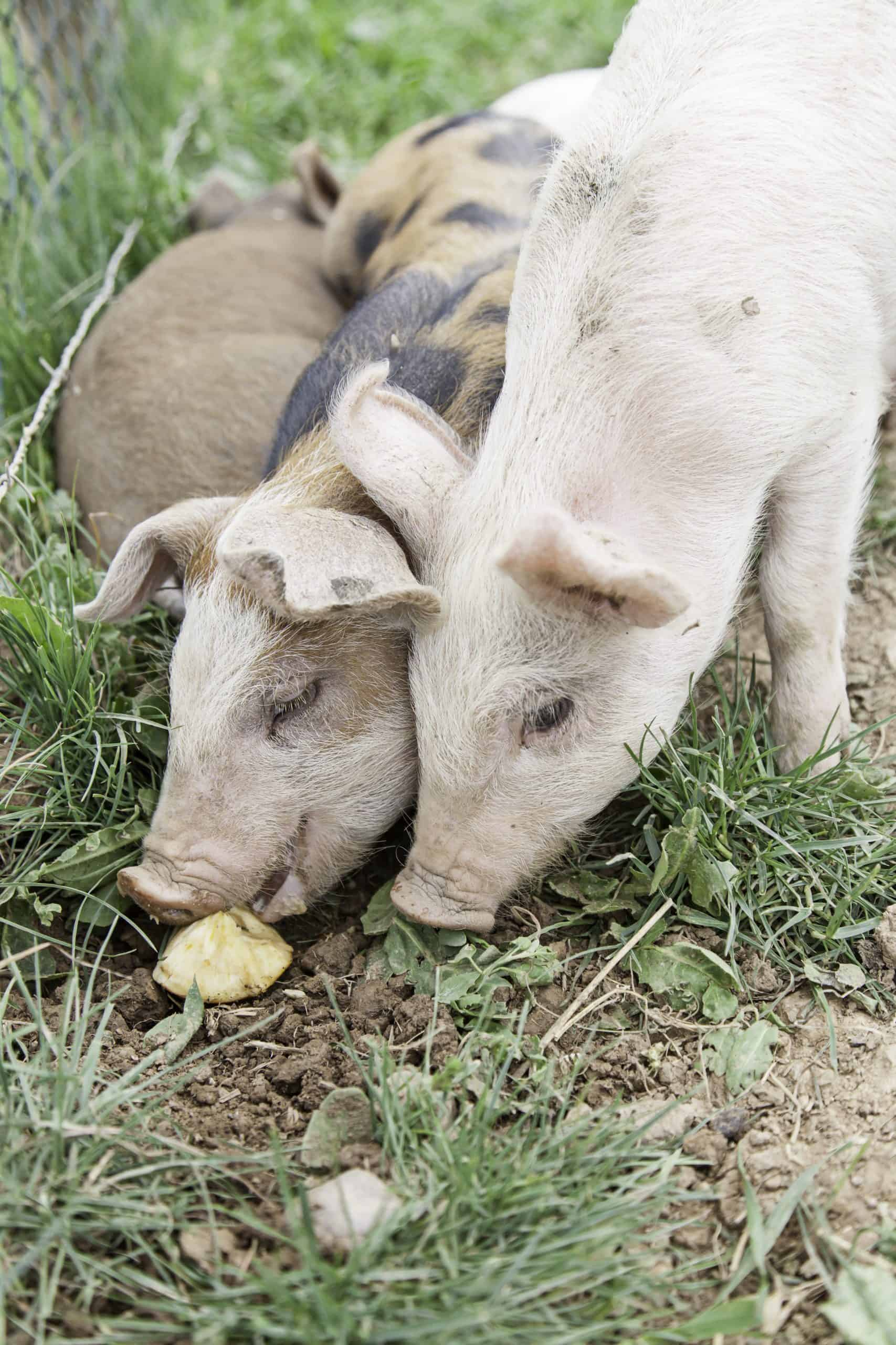 What do pigs eat