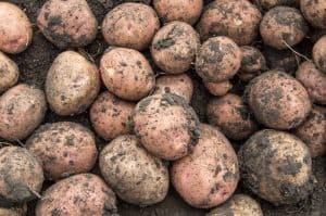 when are potatoes ready to harvest