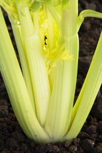 how to grow celery