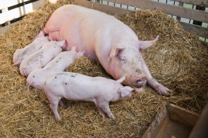 piglets drink milk from sow