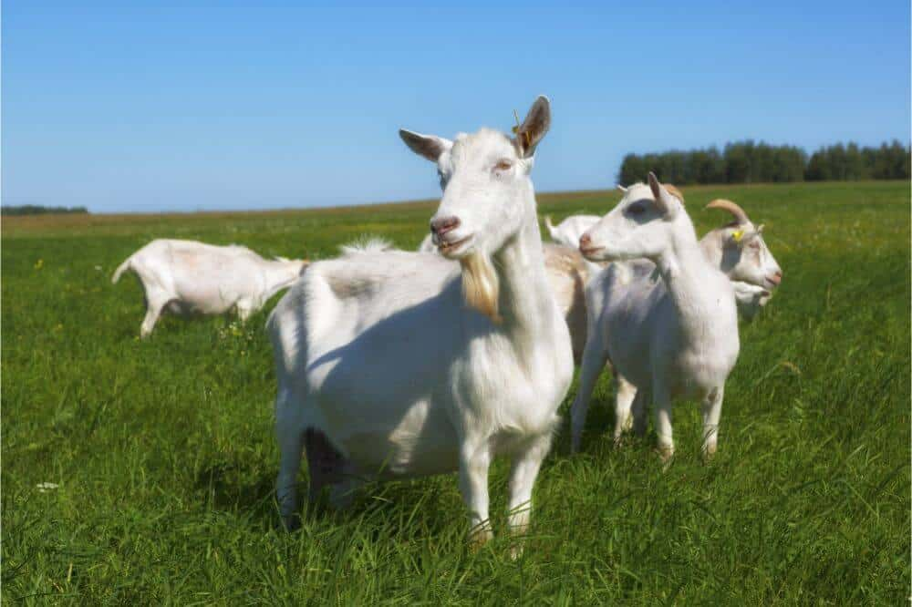 Raising Goats for Profit