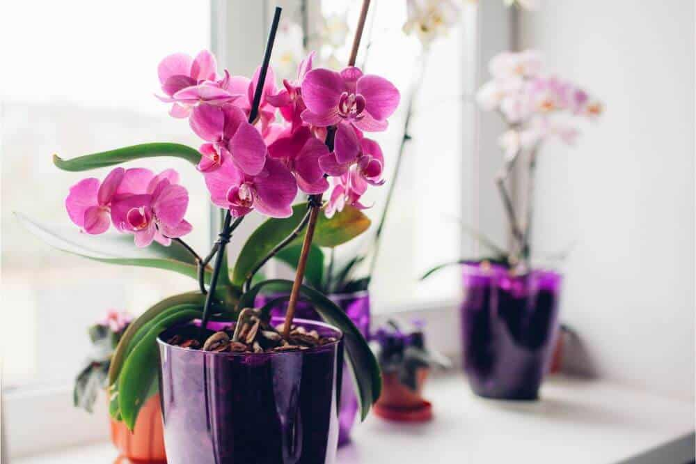 Growing the Best Orchids
