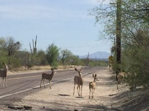 deer in Tucson