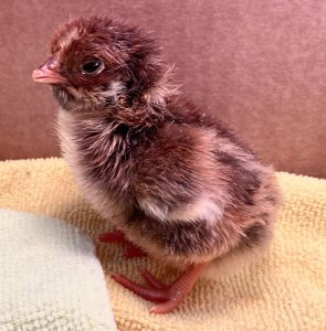 blue laced red day old chick