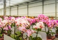 Colorful flowering orchids in a Dutch nursery
