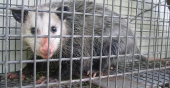 Best Ways to Get Rid of Possums and Other Pests