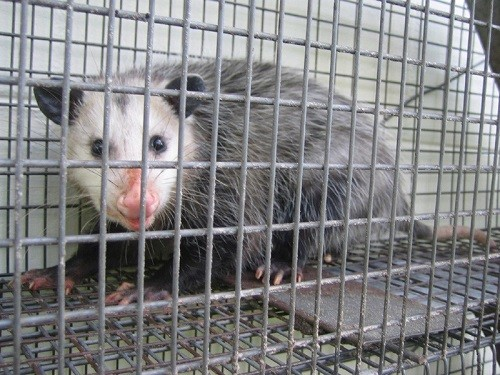 Possum trapped on cage