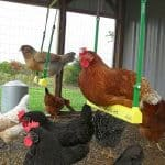 Best Chicken Toys: Entertaining Your Backyard Chickens