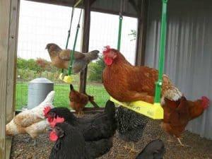 Best chicken toys Chicken Swings