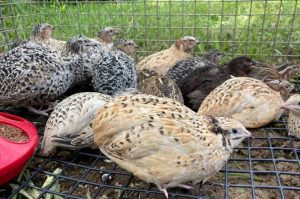 Coturnix quail for sale