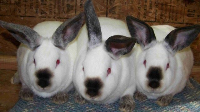 California rabbit