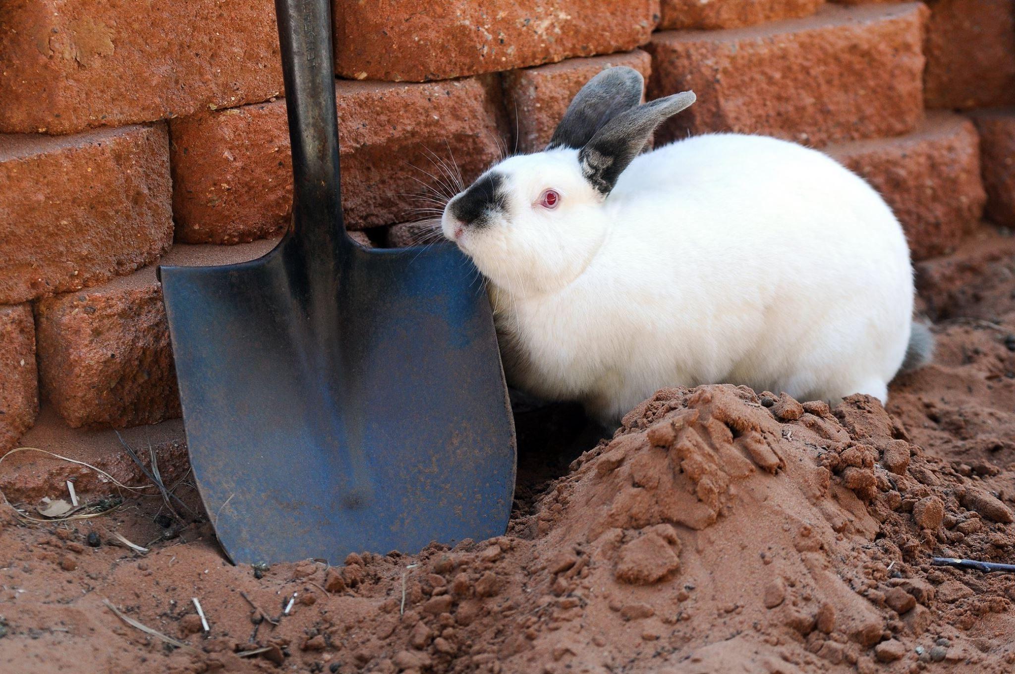 Californian rabbit outside