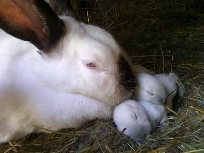 Californian rabbit with newborn kits