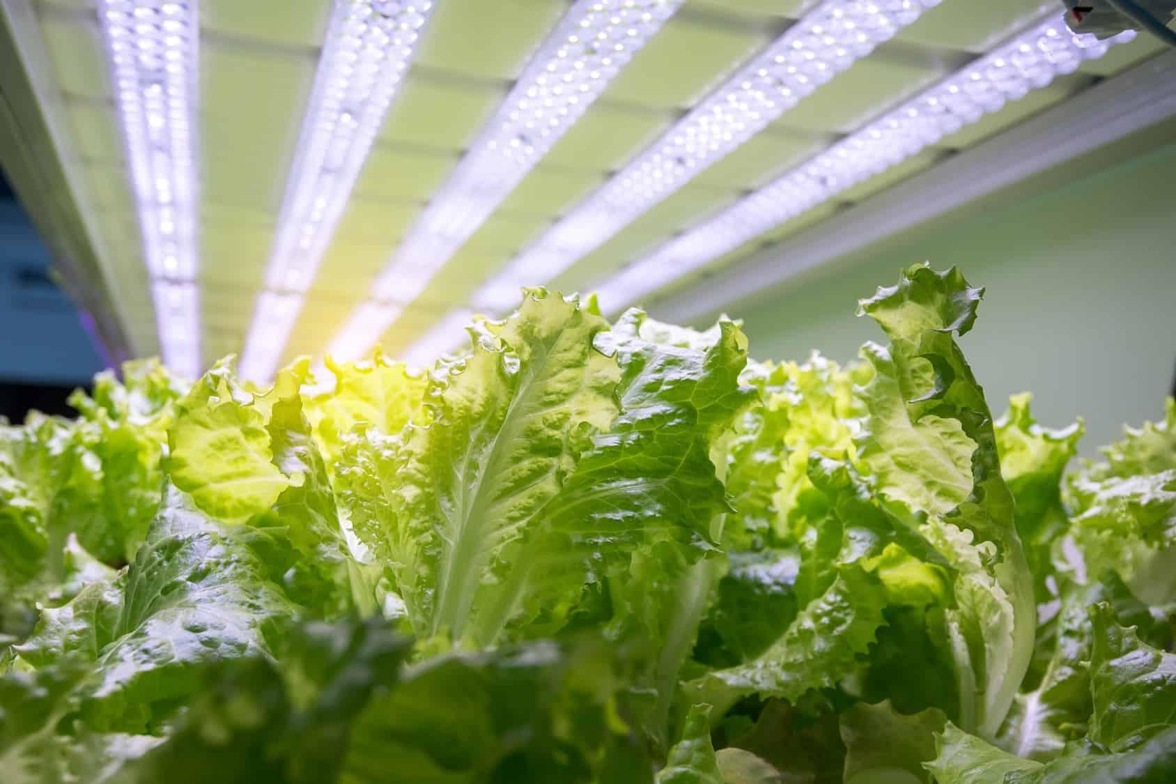 Hydroponics lettuce farm