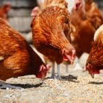Best Chicken Feed Options for Your Flock