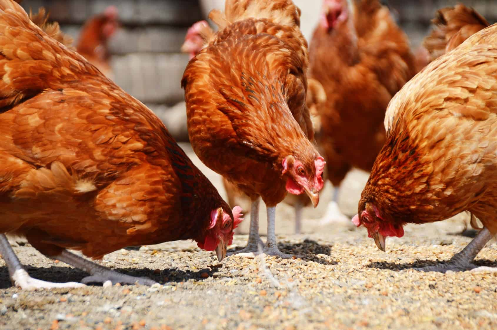 farm chickens eating